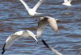 Thayer's Gull 3825