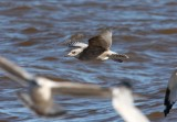 Thayer's Gull 3828