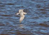 Thayer's Gull 3845