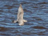 Thayer's Gull 3846