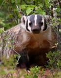 American Badger 3374