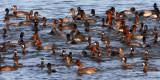 Diving Ducks 2891