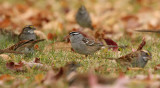 White-crowned Sparrow 0953