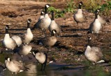 Cackling Geese 2494