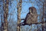 Great Gray Owl 7