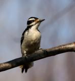Hairy Woodpecker 0719