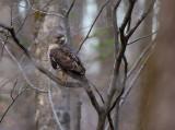 Broad-winged Hawk 0870