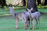 Deer in the back yard of our cabin