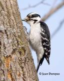 DSC_6868-ec .jpg  Downy Woodpecker