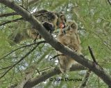 Great Horned Owl   & owlet