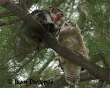 Great Horned Owl and  her juvenile having  lunch