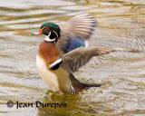 Wood Duck .jpg