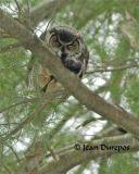 Great Horned Owl  (breeding female)