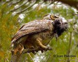 Great Horned Owl .jpg