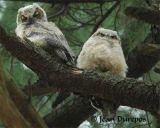 Great Horned Owls (juvenile)