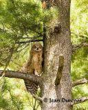 Great Horned Owl (juvenile) .jpg