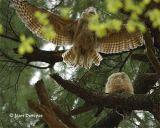Great Horned Owl (juveniles) .jpg
