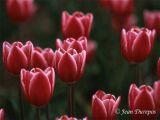 Tulips-05015 .jpg