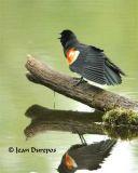 Red-winged Blackbird DSC_0598-ec.jpg