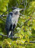 DSC_0286-ec.jpg  Great Blue Heron
