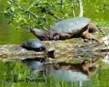 Snapping Turtle and Painted Turtle