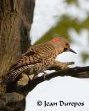 Northern Flicker -  adult male