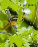 DSC_1041-ec.jpg Baltimore Oriole - breeding adult female