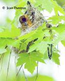 Baltimore Oriole - breeding adult female