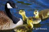 Canada Geese (mom) and  her goslings interacting