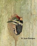 Pileated Woodpecker - adult female