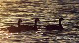 Canada Geese (juveniles) at dusk