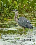 DSC_0196-ec.jpg Great Blue Heron -3-
