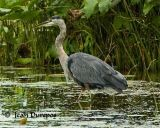 Great Blue Heron  0194.jpg -1-