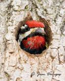 Woodpeckers & close relatives