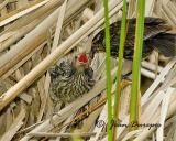 DSC_2278-ec.jpg Red-winged Blackbird feeding her chick