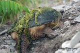 Snapping Turtle (breeding female) rear view