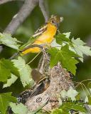 DSC_3030-ec.jpg Baltimore Oriole fledglings