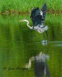 Great Blue Heron_0612.jpg