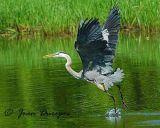 DSC_0612-ecc.jpg Great Blue Heron