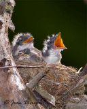 Eastern Kingbird  (chicks)