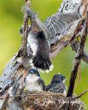 Eastern Kingbird chicks