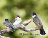 Eastern kingbirds and fledgling