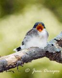 Eastern Kingbird fledgling