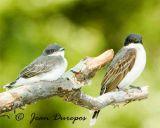 Eastern Kingbird and fledgling