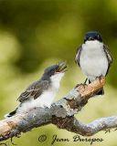 Eastern Kingbird female and fledgling
