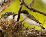 Eastern Kingbird Mom with chicks