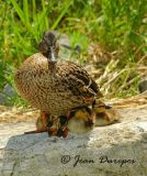 Mallard Mom with large young family