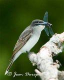 Eastern Kingbird  (breeding female)