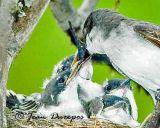 Eastern Kingbird female feeding one of her chicks.