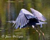 Great Blue Heron DSC_1236-ec.jpg